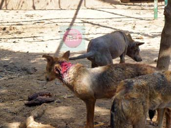 Fayoum Zoo - wolves wounded, bleeding, no space many inside one enclosure - photo credit:  Khaled Elbarky