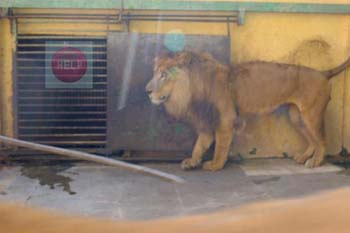 Kafr El Sheikh zoo, iron rod to threaten the lion by the keeper - photo credit: Khaled Elbarky