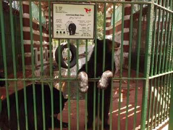 Bears at Giza Zoo, even though cooling system was donated Aug. 2008, yet zoo failed to make any maintenance, result is:  bears are suffering from heat - 30 June 2012 - Picture property:  Hatem Moushir