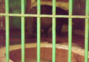 Bears suffering in Giza Zoo - 30 June 2012 - picture property:  Hatem Moushir
