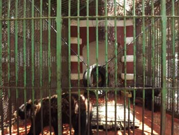 Bears enclosure at Giza zoo, failed to maintain cooling system donated, no water in basin!! 30 June 2012 - picture property:  Hatem Moushir