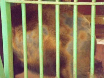 Bears in Giza Zoo - skin problems !! 26 June 2012 - picture property:  Hatem Moushir