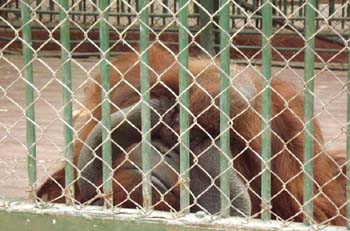 Bonji, the Orangutan which was given as present from Al Ain Zoo UAE since 19 May 2010, despite campaigns the remaining 2 Orangutans are held in solitary cells at the chimps enclosure - long story, dramatic.  date:  30 June 2012 - picture property:  Hatem Moushir
