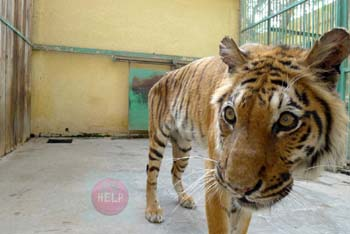 SAMAR is a female tiger in Kafr El-Sheikh zoo she had a missing canine and didn't fed appropriately , she is one of the most kind animals ever . سمر النمر الانثى في حديقة الحيوان فى كفر الشيخ انها تعاني من ناب مفقود ، ولم تتغذى بشكل مناسب، و هي واحدة من أكثر الحيوانات روعة وعطفا photo by:  Khaled Elbarky