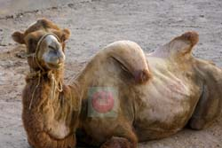A falling hump camel (Kafr El-Shaikh zoo) - photo by:  Khaled Elbarky