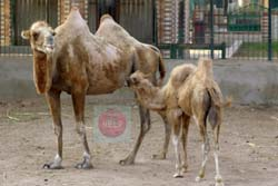 A falling hump baby camel with his mother (Kafr El-Shaikh zoo) - photo by:  Khaled Elbarky