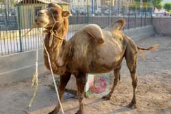 A falling hump camel (Kafr el-Shaikh zoo) - picture by:  Khaled Elbarky