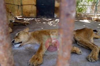 Alexandria Zoo - lioness in ill state - eye witnesses, she vomits and does not eat - photo credit:  Khaled Elbarky